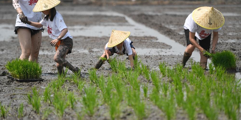 Работа на рисовом поле вместе с родителями