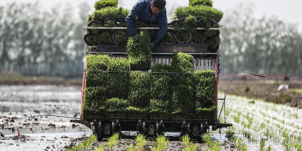 Посадка поливного риса в Паньцзине