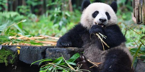 Он отнял мой бамбук!