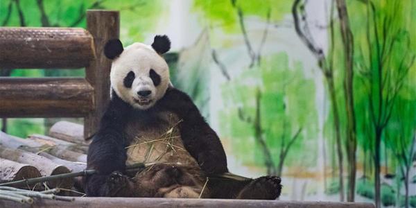 Восемь панд из провинции Сычуань поселились в уезде Фэнхуан