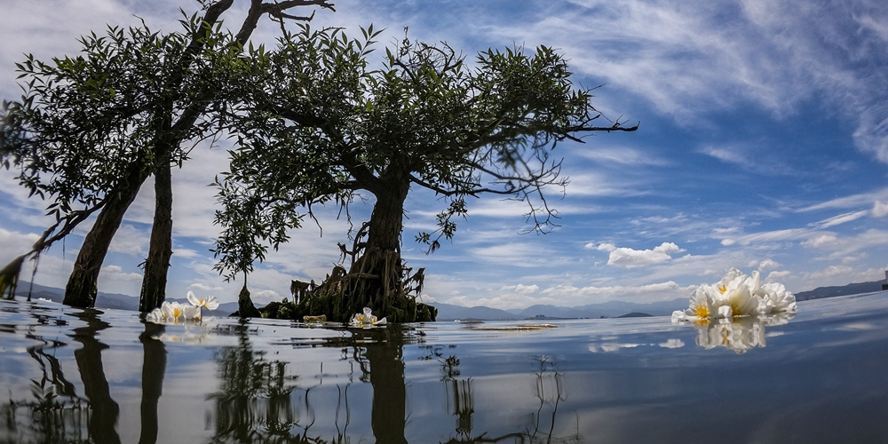 Цветение оттелии в озере Эрхай