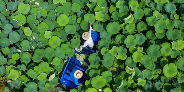 Лотосовые пруды -- источник красоты и благосостояния в провинции Чжэцзян