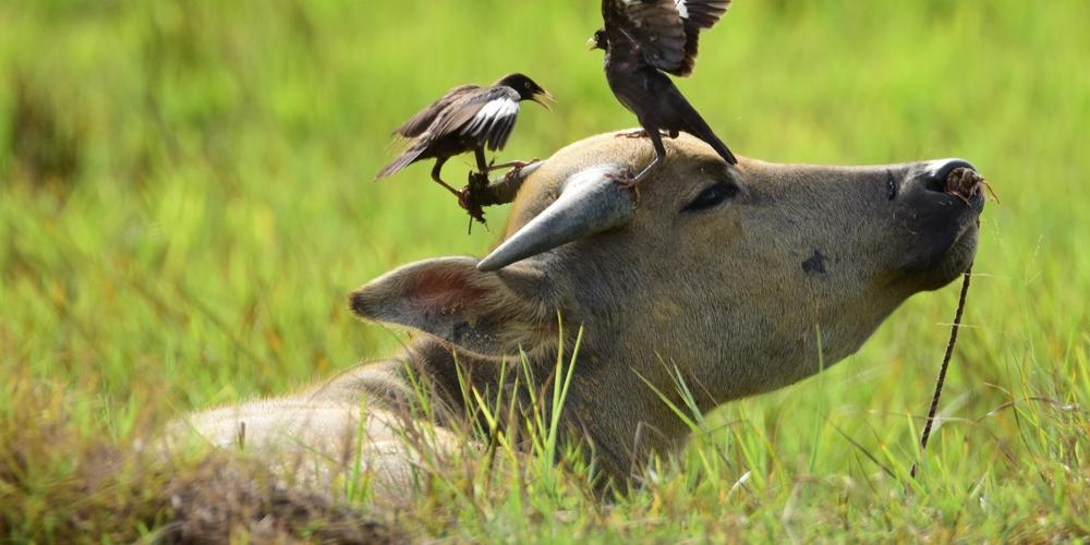 Мирное соседство птиц и буйволов