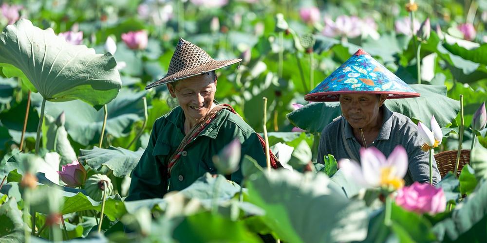 Сбор семян лотоса в провинции Фуцзянь