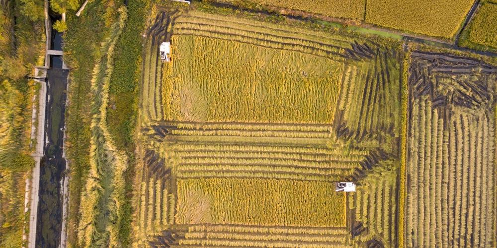 Осенний урожай риса в Цзилине