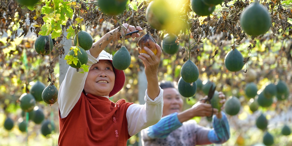 Выращивание трихозанта приносит дополнительный доход фермерам из Фучжоу