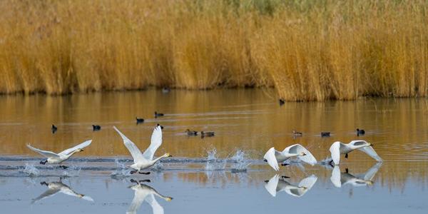 Лебеди на осеннем озере Улан-Сухай