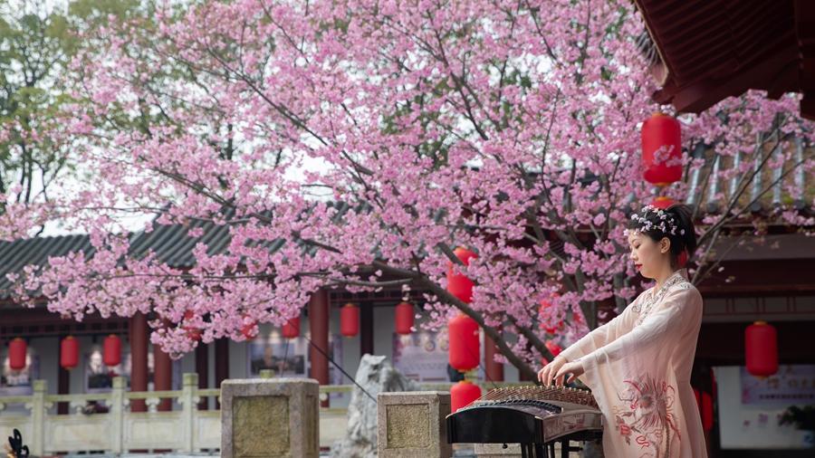 Цветение сакуры в городе Ухань