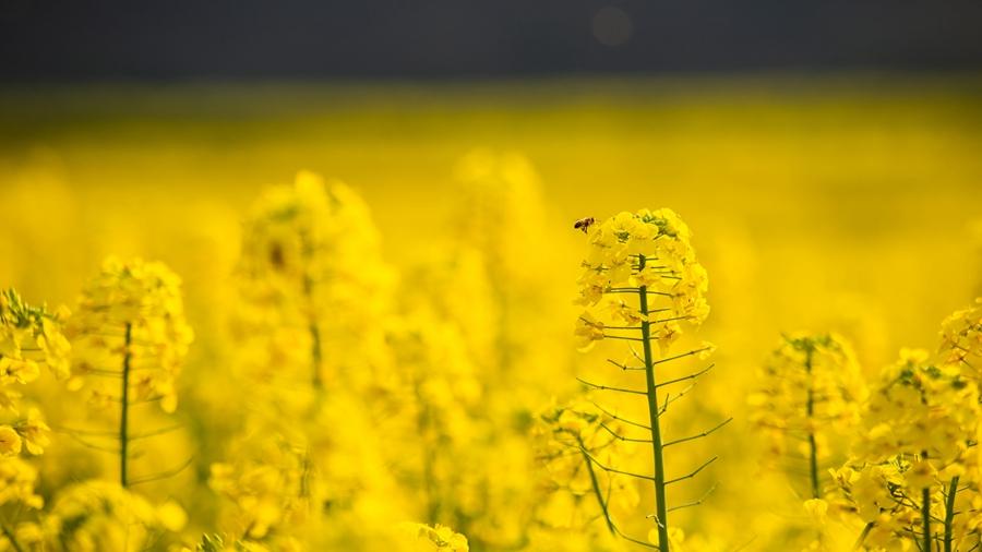 Цветение рапса в провинции Юньнань