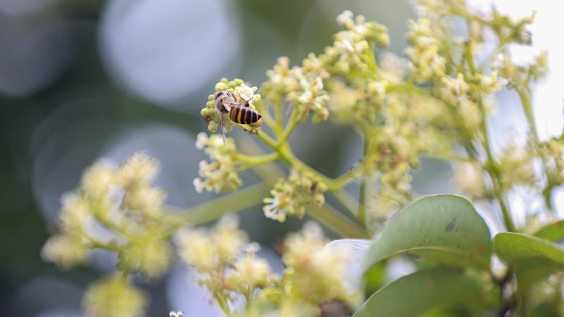 Пчелиный танец среди цветов личжи