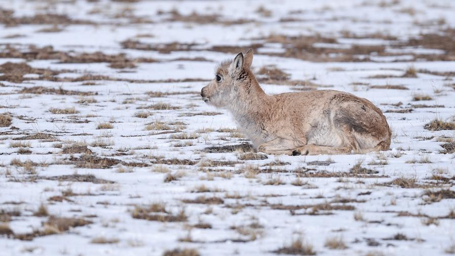 Миграция тибетских антилоп среди заснеженных пейзажей Кукушили